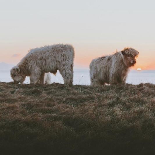 Highland Cows, Hamish Morrison, The Ferry Inn Skye